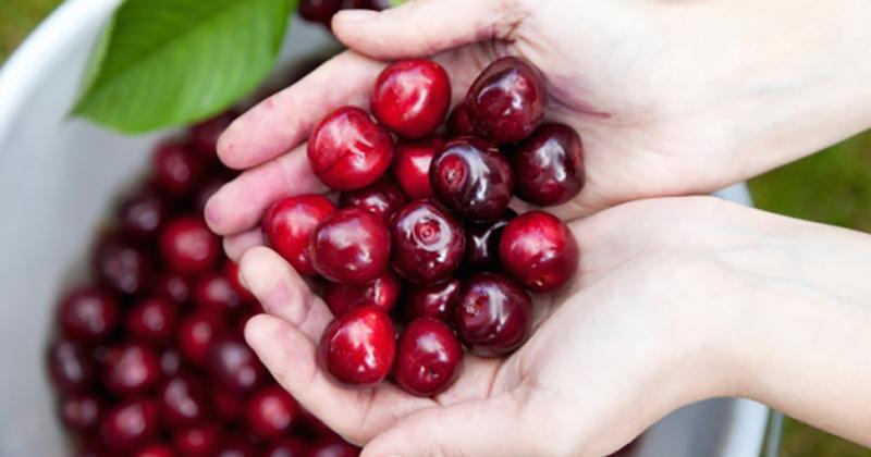 Едно от най-популярните медицински приложения на екстракт и сок от череши е за лечение и профилактика на подагра – болезнена форма на артрит, характеризираща се с повишени нива на пикочната киселина в кръвта и образуване на кристали пикочна киселина в ставите.
